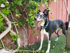 Adopt Jacks a Parson Russell Terrier, Border Collie