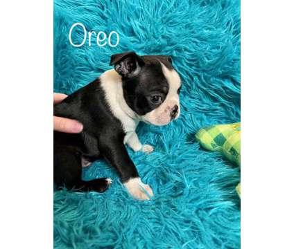 AKC Boston Terrier Puppies is a Male Boston Terrier Puppy For Sale in Lakeland FL