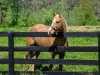 Adopt Nugget a Tennessee Walker