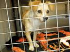 Adopt *JEANINE a Tan/Yellow/Fawn - with White Papillon / Mixed dog in San Jose