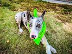 Adopt Snoot Wizard a Catahoula Leopard Dog, Mixed Breed