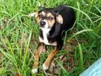 Adopt Miley a Miniature Pinscher, Italian Greyhound