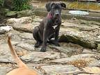 Adopt Donnie a Black - with White American Pit Bull Terrier / Shepherd (Unknown