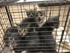 Adopt CHUCKY a Gray, Blue or Silver Tabby Manx / Mixed (short coat) cat in