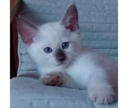 Purebred Traditional Applehead Siamese Kittens is a Female Siamese Young For Sale in Poughkeepsie NY