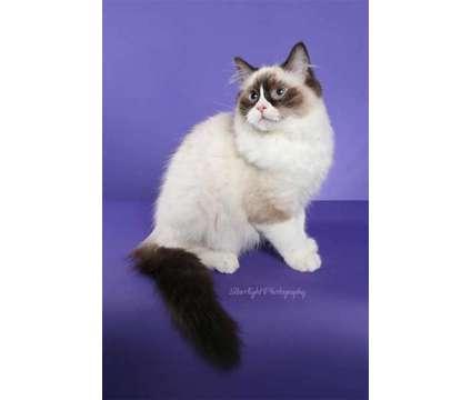 ragdolls is a Male Ragdoll Kitten For Sale in Tucson AZ