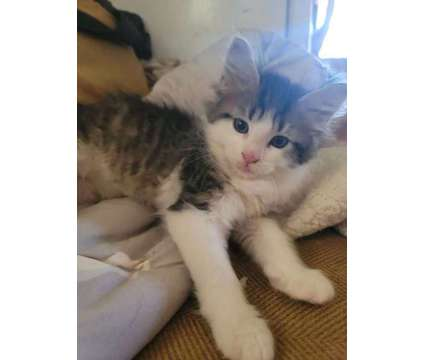 Maine Coon Ragdoll Mix Kittens is a Female Maine Coon Kitten For Sale in Fort Smith AR