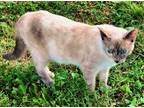 Adopt Smooch a Cream or Ivory (Mostly) Siamese (short coat) cat in Chattanooga