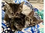Adopt Piper and Pepper a Brown Tabby Domestic Shorthair / Mixed (short coat) cat