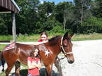 Hinny(mule) For Sale!!! Healthy!