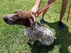 Adopt a Brown/Chocolate - with White German Shorthaired Pointer / Mixed dog in