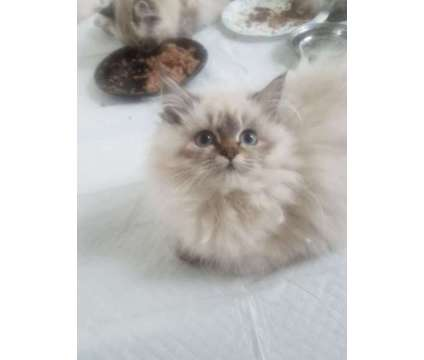 Beautiful Cfa Doll face Persian kittens is a Female Persian Kitten For Sale in W Haven CT