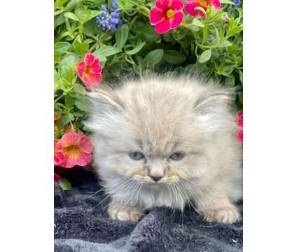 Persian Doll Face Himalayan Kitten Available is a Female Persian Kitten For Sale in Bath PA