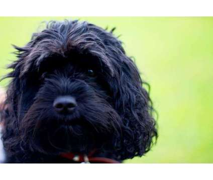 Cava-poo ..BEST of the Doodles is a Male Cavapoo Puppy For Sale in Vista CA
