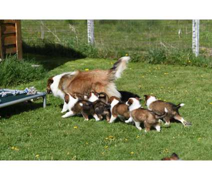 Old Fashioned Farm Collies is a Male Collie Puppy For Sale in Big Rapids MI
