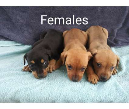 American Terrier Pitbull puppies is a Female Pit Bull Terrier Puppy For Sale in Culpeper VA