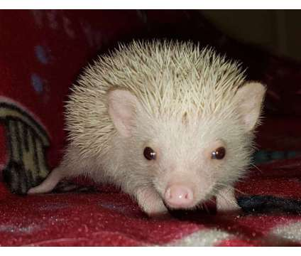 Baby hedgehogs is a Baby For Sale in Norman OK