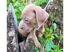 Cane Corso Puppy for sale in Rydal, PA, USA