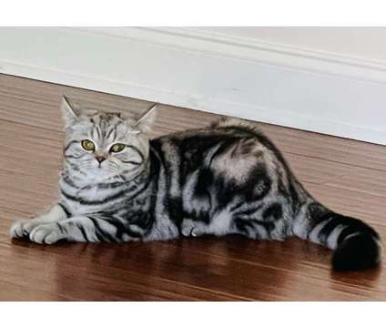 British Shorthair Silver Classic Tabby is a Grey Female British Shorthair Young For Sale in Houston TX