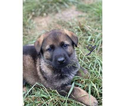 Dark Sable Long Hair Import working line German Shepherd is a Female German Shepherd Puppy For Sale in Woodland CA
