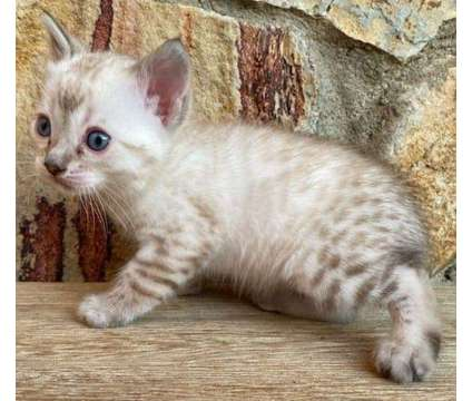 Spectacular Seal Point Lynx Bengal kittens is a Male Bengal Kitten For Sale in San Jose CA
