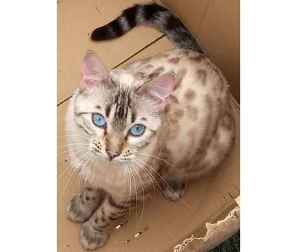Spectacular Seal Point Lynx Bengal kittens is a Male Bengal Kitten in San Jose CA