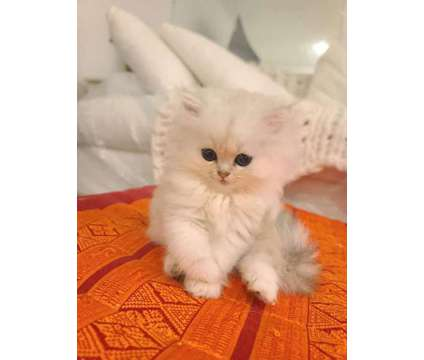 White Persian Kittens Available now - Dearheart Dollface Persian Chinchilla Bree is a White Male Persian Kitten For Sale in Miami Beach FL