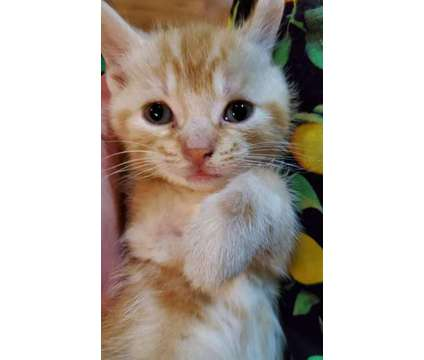 Manx Kittens For Sale is a Male Manx Kitten For Sale in Asheboro NC