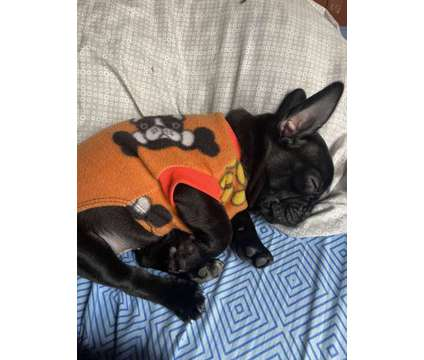 French bulldogs :) is a Male French Bulldog Puppy For Sale in South Miami FL
