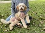Labradoodle Puppy for sale in Orange, TX, USA