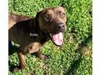 Adopt Kona a Brindle Plott Hound / Mixed dog in Newberry, SC (31622505)