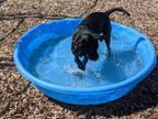 Adopt Lady a Labrador Retriever