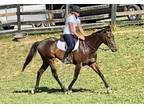 Huntertype gelding easy to ride unlimited potential