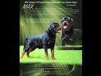 Rottweiler Puppy for sale in Pontiac, IL, USA