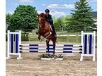 Bold Amateur Jumper or Eventer Prospect