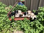 Labradoodle Puppy for sale in Kokomo, IN, USA