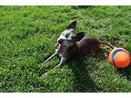 Zaria: (PA) Chihuahua Adult Female