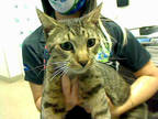 Adopt HAPPY a Brown Tabby Dome