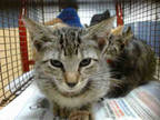 Adopt FIONA a Brown Tabby Domestic Shorthair / Mixed (short coat) cat in Doral