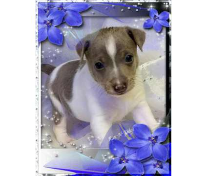 Rat Terrier Puppies is a Male Rat Terrier Puppy For Sale in Texarkana AR