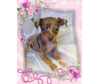 Harlequin Pinscher Puppies is a Male Harlequin Pinscher Puppy For Sale in Texarkana AR