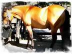 AQHAFQHA Quarter Horse Stallion