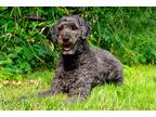 Adopt Millie-Not Available a White - with Gray or Silver Standard Poodle /