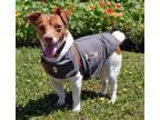 Adopt Jackson-T-Bone a Jack Russell Terrier, Fox Terrier