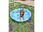 Adopt Maury a Brown/Chocolate - with Tan Treeing Walker Coonhound / Mixed dog in