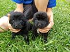 Newfoundland Puppy for sale in Martinsville, OH, USA