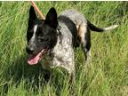 Adopt Freddie a White - with Black Blue Heeler / Australian Cattle Dog / Mixed