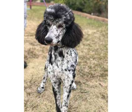"""""""Labradoodle-Mix"""" Litter Due August 4th, 2021 (Reserve one Today) is a Female Labradoodle Puppy For Sale in Modesto CA"""