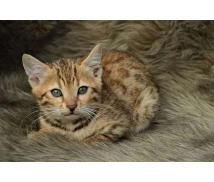 TICA Registered Bengal Kitten is a Female Bengal Kitten For Sale in Indiana PA