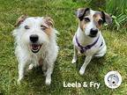 Leela And Fry - Bonded Pair, Jack Russell Terrier For Adoption In Northville